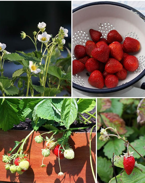 Excellent.org: Plant package strawberries for sweet tooth