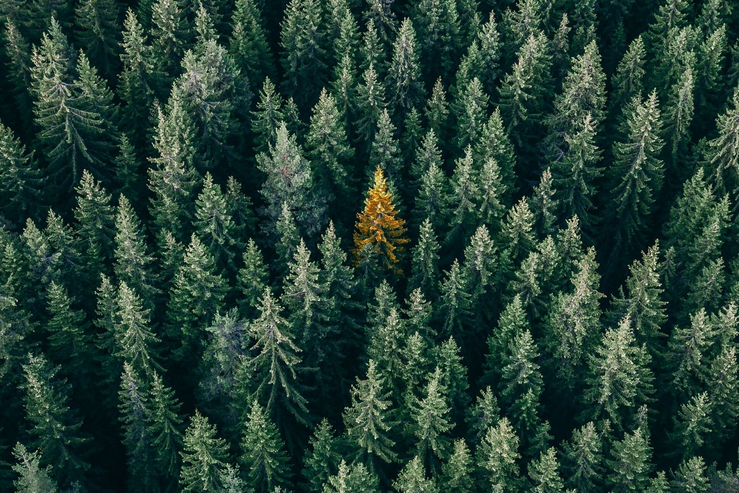 Excellent.org explains the Unique Selling Proposition (USP) and explains how a unique selling proposition can be formulated, the picture shows many green fir trees, with a single yellow one in the middle